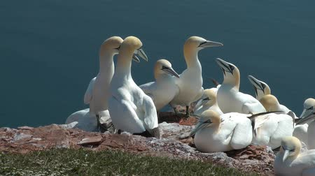 klipek : Northern Gannets (Morus Bassanus) on a cliff
