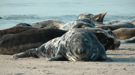 vida selvagem : Gray Seals on Helgoland in Germany