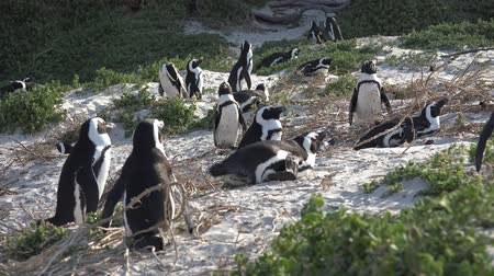 колония : Penguins in Simonstown South Africa