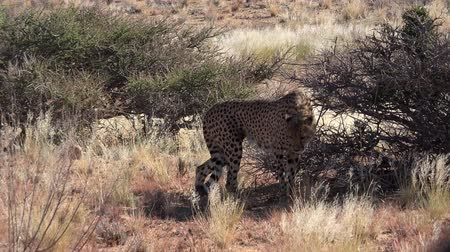 ghepardo : Cheetah in Namibia Wildlife Park