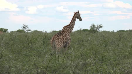 namibya : Giraffes in Etosha National Park, Namibia as 4K UHD footage