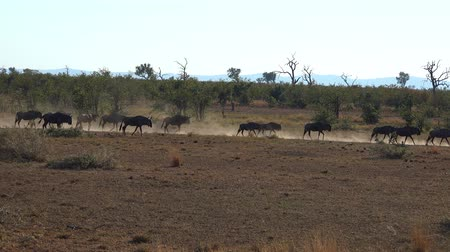 Herd of Buffalos in the african savanna as detailed 4K UHD footage