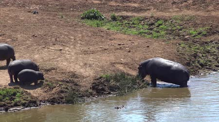 hippos : Hippos relaxing in the water as detailed 4K UHD footage