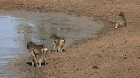 primaz : Baboons at the waterhole at Krueger National Park (South Africa) as 4K footage) Vídeos