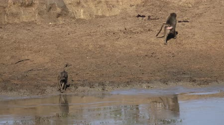 rozhledna : Baboons at the waterhole at Krueger National Park (South Africa) as 4K footage) Dostupné videozáznamy