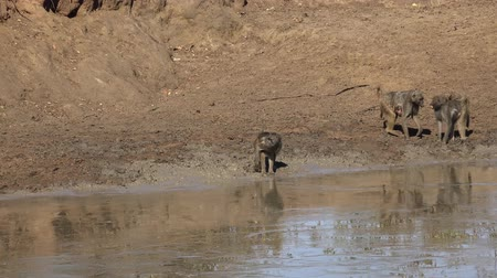 baboon : Baboons at the waterhole at Krueger National Park (South Africa) as 4K footage) Stock Footage