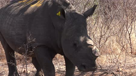 chifre : Dehorned white rhino near Metabos National Park (Zimbabwe) as 4k footage Vídeos