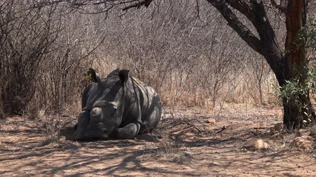 chifre : White Rhino (dehorned) sitting under a tree in Metabos National Park, Zimbabwe (4k footage) Vídeos