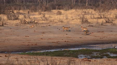 gato selvagem : Group of Lions at a waterhole in Matobos National Park (Zimbabwe) as 4K footage Stock Footage