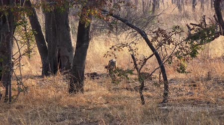 jachthonden : Jackals in the wildlife (4k footage) at Metabos National Park (Zimbabwe) Stockvideo