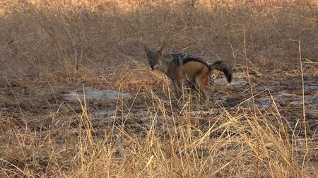 Jackals in the Matobos National Park (Zimbabwe) as 4k UHD footage