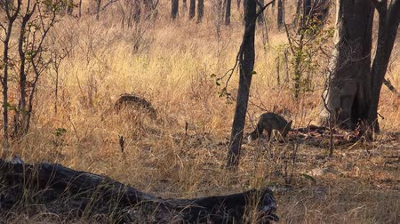 jachthonden : Some Jackals in the Matobos National Park (Zimbabwe) as 4k UHD footage