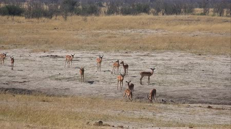 zimbabwe : Some Antelopes in the African Savanna as a detailed 4K footage Stock Footage