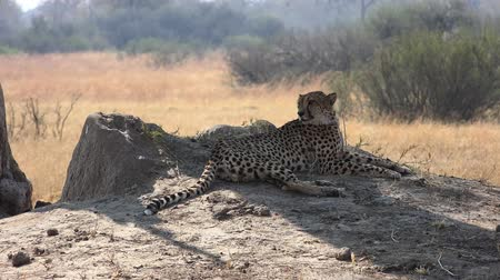 Cheetah (Hwange National Park, Zimbabwe) as 4K Detailed footage