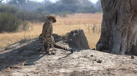 leopard cat : Cheetah relaxing in the sun (Hwange National Park, Zimbabwe) as 4K UHD footage Stock Footage