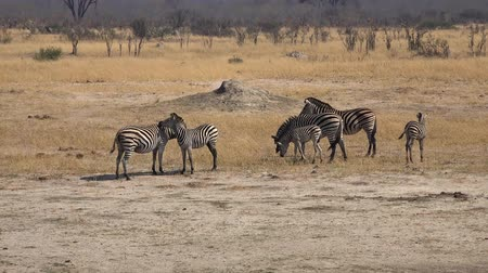 Herd of Zebras at Hwange National Park (Zimbabwe) as 4K UHD footage