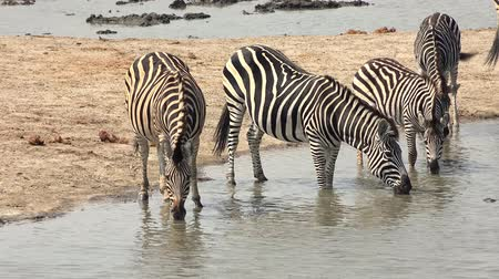 zimbabwe : Group of Zebras in Hwange National Park, Zimbabwe (4K UHD footage) Stock Footage