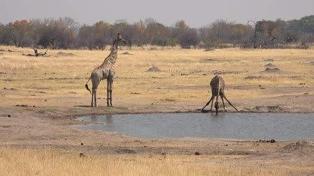 Drinking Giraffe in Hwange National Park (Zimbabwe) as 4K UHD footage