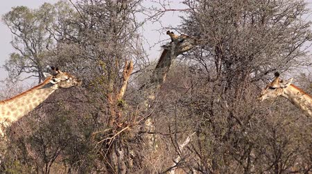 Giraffes in the African Savanna (Hwange National Park, Zimbabwe) as 4K footage Vídeos