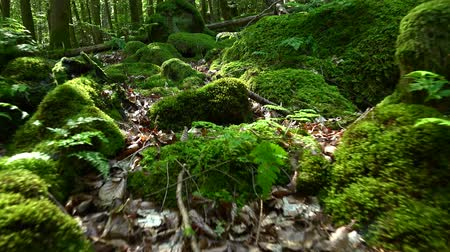 musgo : German Forest 4K UHD footage (high detailed)