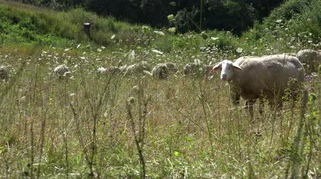 pastar : Sheeps (4K UHD footage) on a summer meadow