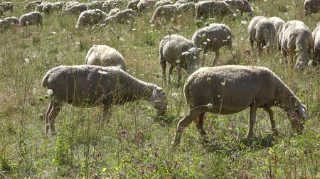 ewe : Flock of Sheeps on a meadow at a hot summer day (detailed 4K footage) Stock Footage