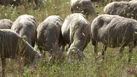 anyajuh : Flock of Sheeps (high detailed 4K footage) Stock mozgókép