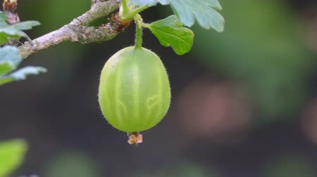 egres : Green gooseberry fruit in the summer garden UHD