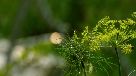 нечеткий : Blooming fennel in a garden and flying insects hd