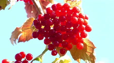 sorbus : Red rowan in the sun in autumn 2015 UHD