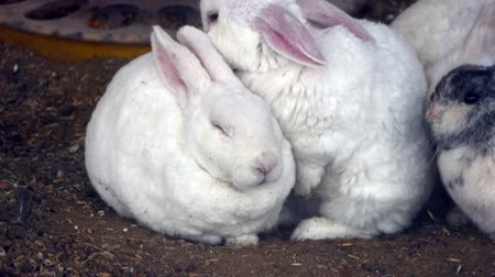 breeder : White Rabbits are friendly people