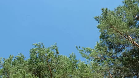 pine tree forest - treetops and blue skies, driving inside forest landscape