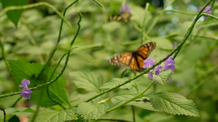 butterfly on flower, Monarch