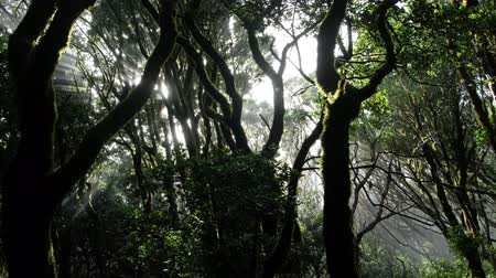 sun shining through trees in foggy forest - sunlight in cloud forest Stock Footage