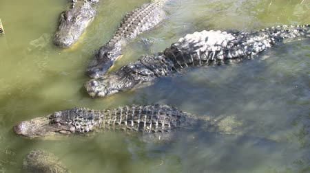 captivity : Alligators in captivity