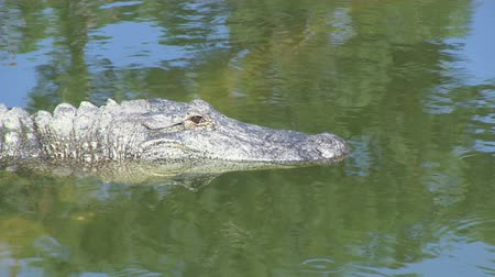 captivity : Alligator opens eye