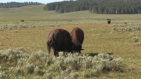 pastar : Two bison fighting in Yellowstone National Park