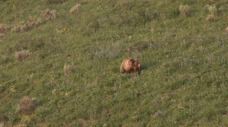 grizzly bär : Grizzly Mutter mit Jungen im Yellowstone National Park