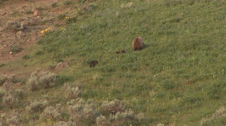 kahverengi : Grizzly mom with cubs in Yellowstone National Park