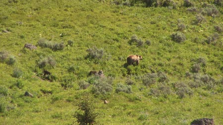 miś : Grizzly mom with cubs in Yellowstone National Park