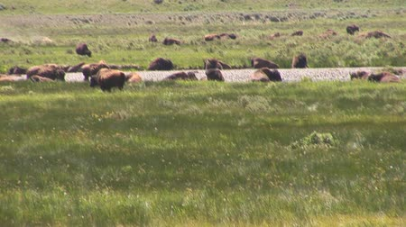 национальный парк : Herd of bison in Yellowstone National Park