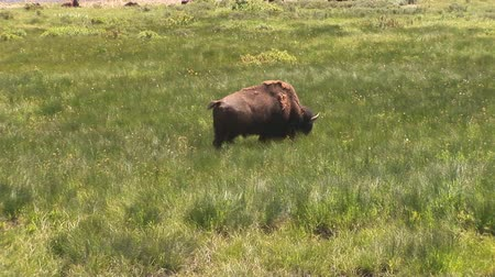 pastar : Bison walking in Yellowstone national Park