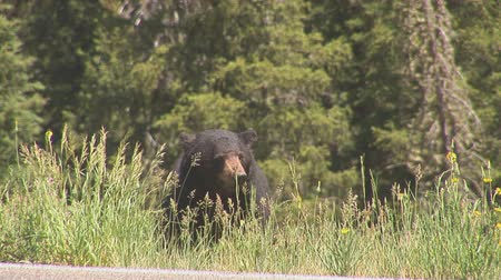 memeli : Black bear eating Stok Video