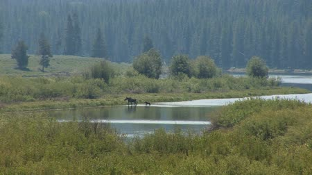 grand tetons : Moose and cub crossing river