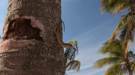 folha : Lizard on palm tree