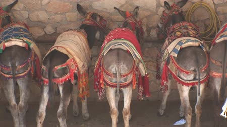 culos : La fila de burros Archivo de Video