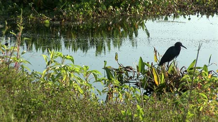 pantanal : Egret and birds in pond Stock Footage