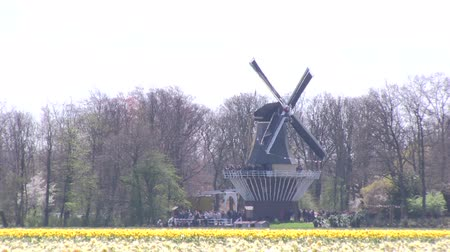 tulipany : A windmills and yellow daffodils