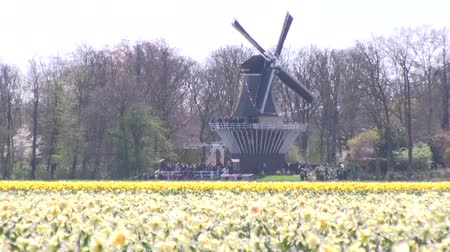 moinho de vento : A windmills and yellow daffodils