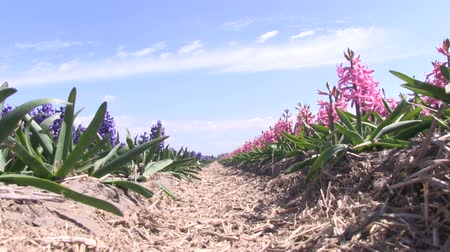 izzók : A field of purple and pink hyacinths